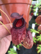 N.aristolocioides x N.ventricosa | Nepenthes Monkey Cup